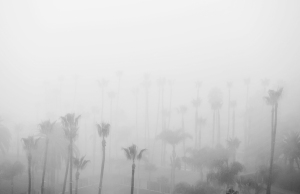 Hollywood-Palms-With-Morning-Fog-1
