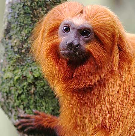 golden-lion-tamarin